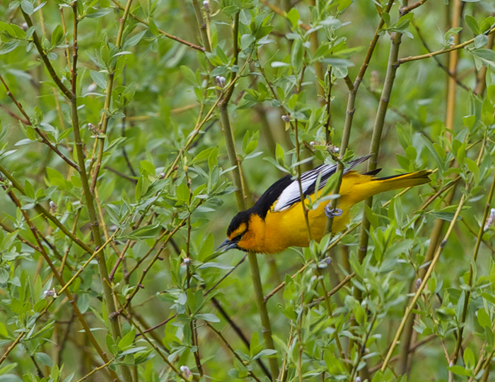 Bullock's Oriole, Bennet Mountain Road, Idaho