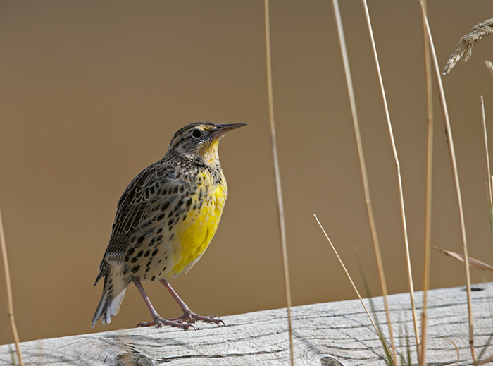 Western Meadowlark, West Mountain Road, Idaho