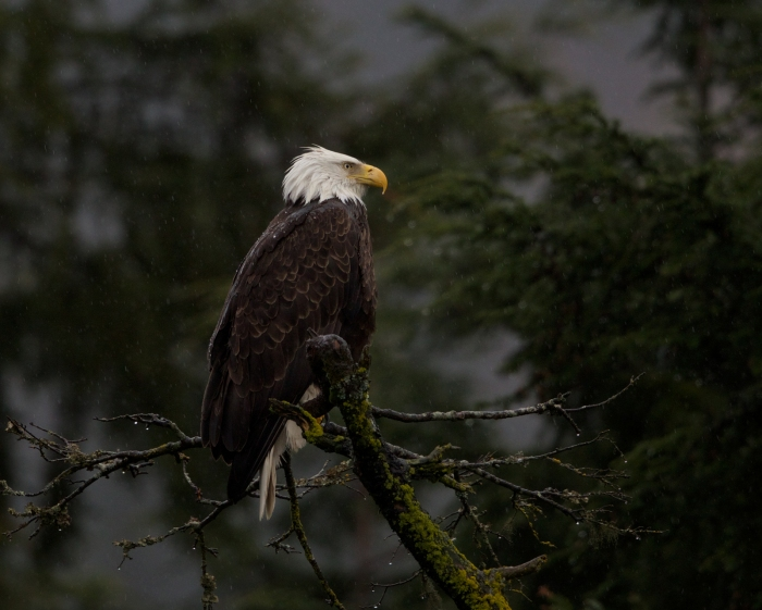 Soggy Bald Eagle, Cordova, Alaska