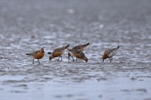 Red Knots, Egg Islands, Gulf of Alaska