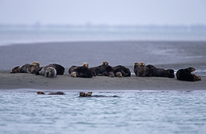 Sea Otter Haul Out, Orca Inlet