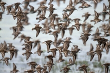 Western Sandpiper Flock, Hartney Bay, Alaska