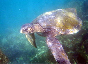 Green Sea Turtle, Pepe's Cove, Elizabeth Bay Galapagos Islands