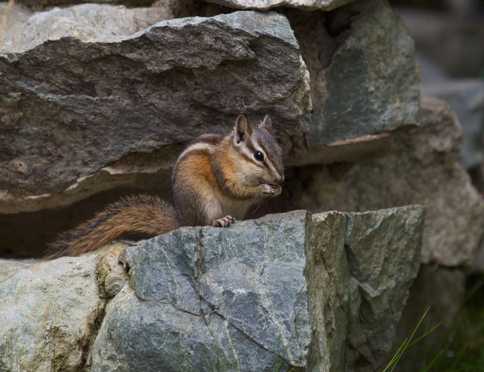 Least Chipmunk, McCall, Idaho