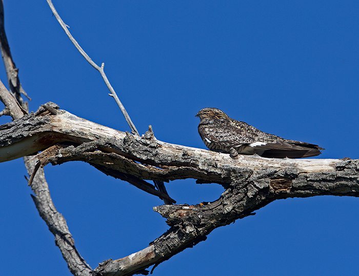 Common Nighthawk, Malheur National Wildlife Refuge, Oregon