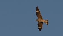 Common Nighthawk in Flight, Malheur NWR, Oregon