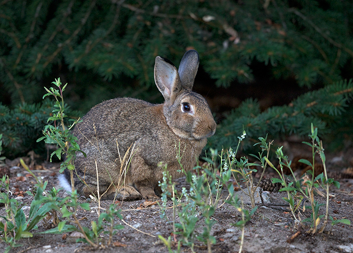 Cottontail Rabbit, Seven Devils Road, Idaho