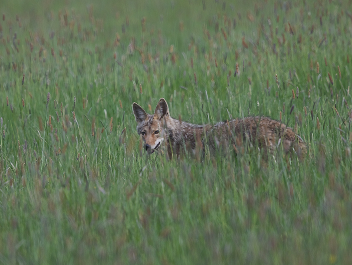 Coyote, West Mountain Road, Valley County