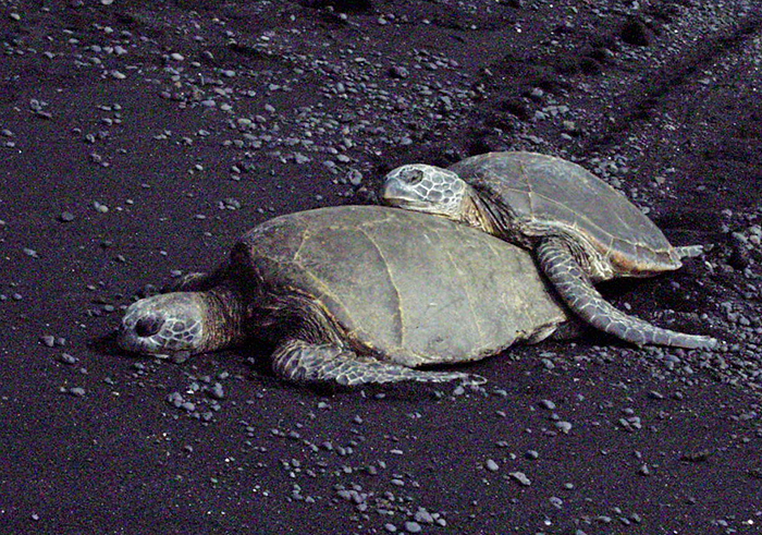 Green Sea Turtles (Honu), Kauai, Hawaii