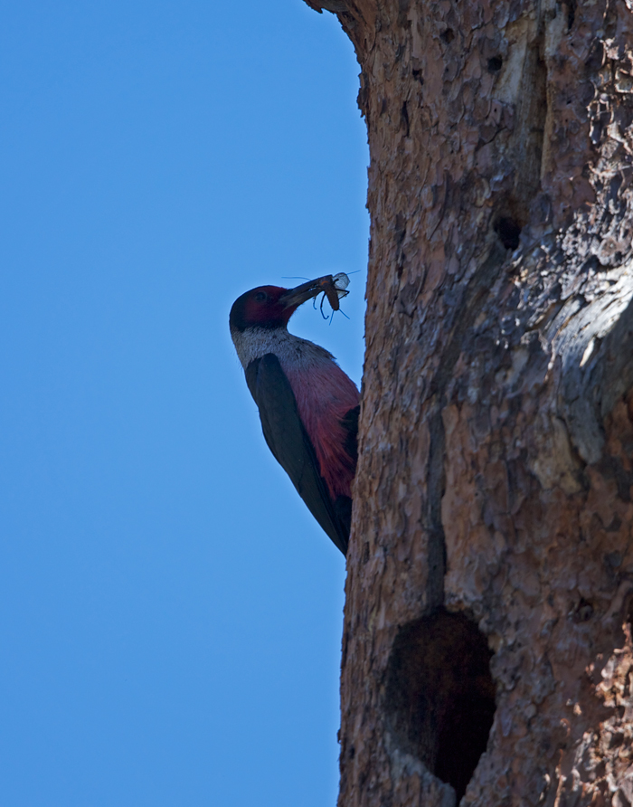 Lewis's Woodpecker with Food for the Kids, Salmon River Canyon, Idaho