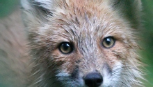 Red Fox, McCall, Idaho