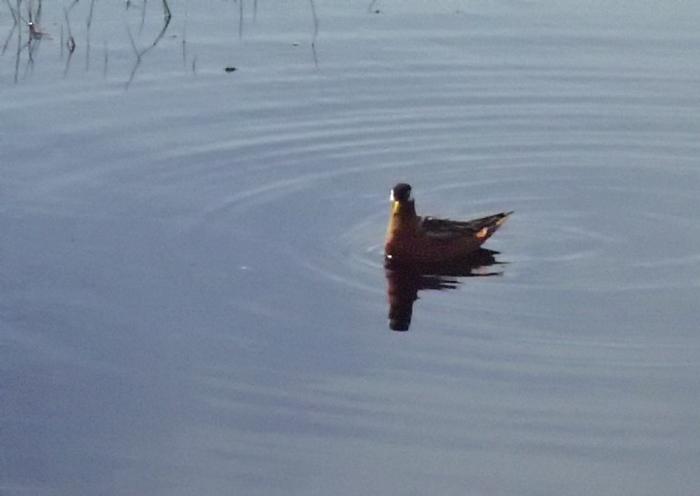 Red Phalarope, Barrow, Alaska