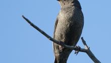 Rusty Blackbird, Richardson Highway, Big Delta