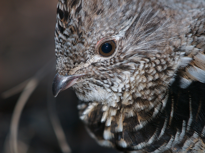 Dennis, an Over-Agressive Ruffed Grouse Male, Creamer's Refuge, Fairbanks
