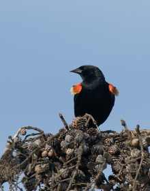 Red-winged Blackbird, Peat Ponds, Fairbanks