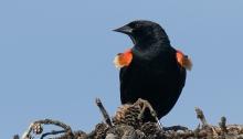 Red-winged Blackbird, Peat Ponds, Fairbanks