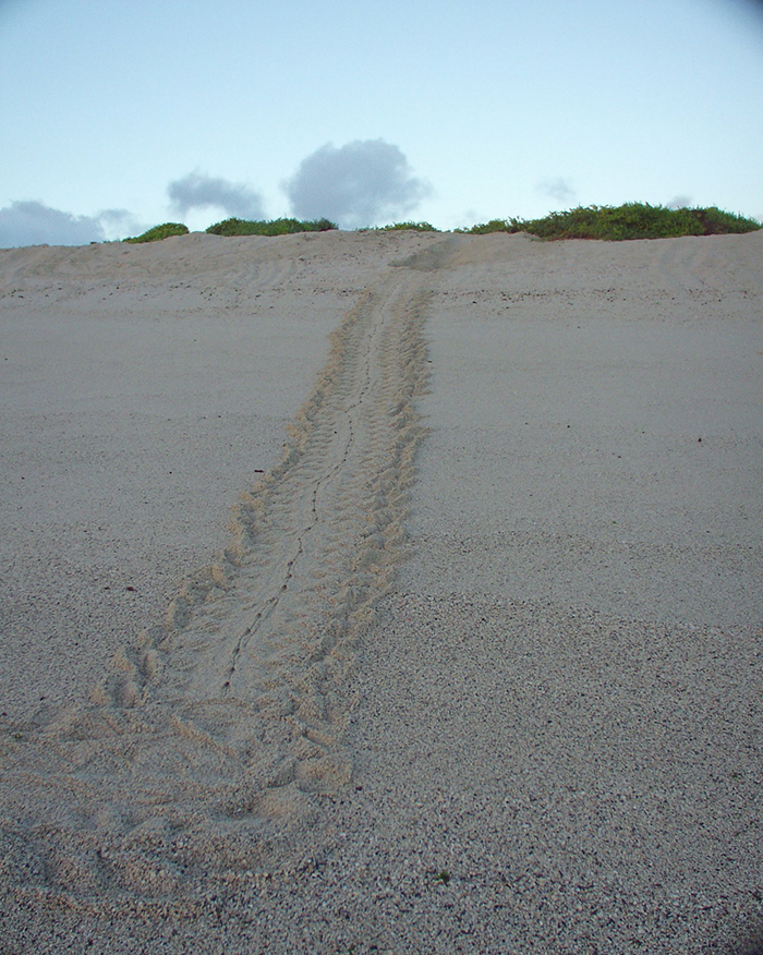 Green Sea Turtle nest and tracks, Gardner Bay, Galapagos