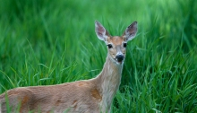 Whitetail Deer, West Mountain Road, Valley County, Idaho
