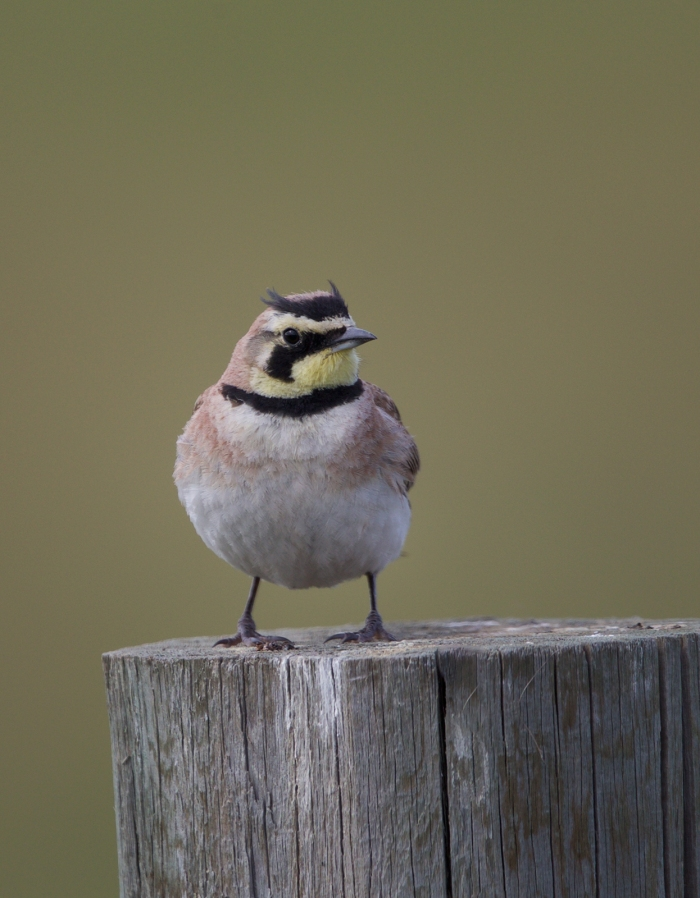 Horned Lark, Farm to Market Road, Valley County, Idaho