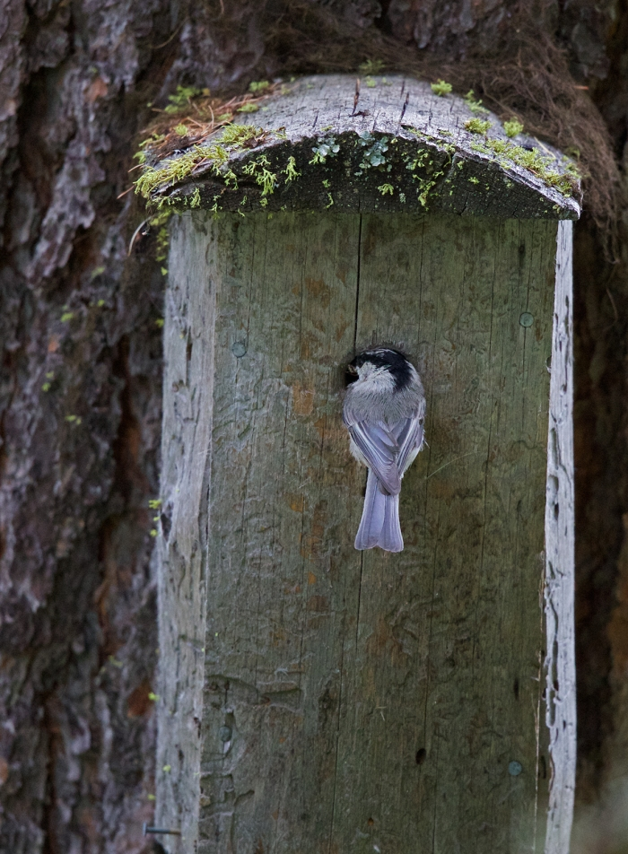 Mountain Chickadee, Payette Lake, Idaho