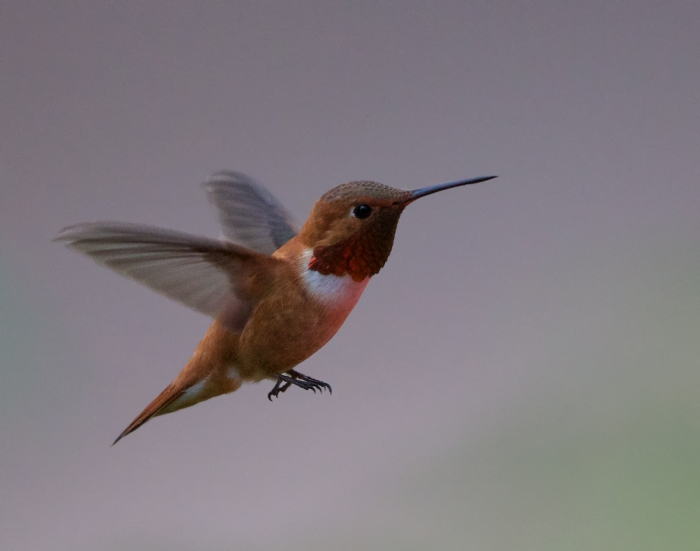 Rufous Hummingbird, Payette Lake, Idaho