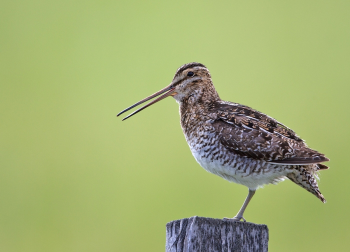 Wilson's Snipe, Farm to Market Road, Valley County, Idaho