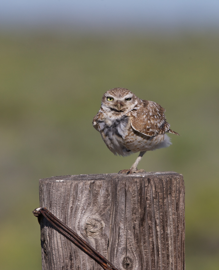 Burrowing Owl, Malheur NWR