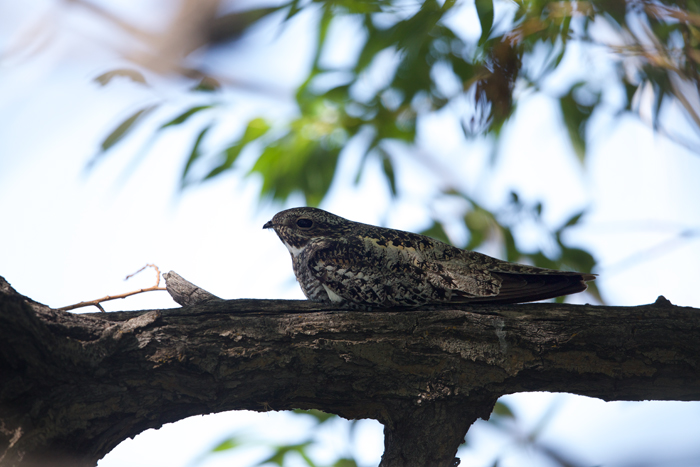 Common Nighthawk Roosting, Malheur NWR