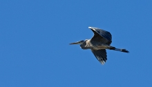 Great Blue Heron, Juneau