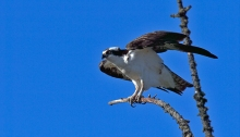 Osprey, North Pole, Alaska