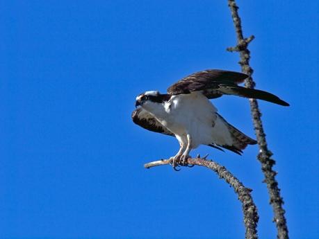 Osprey, North Pole, Alaska