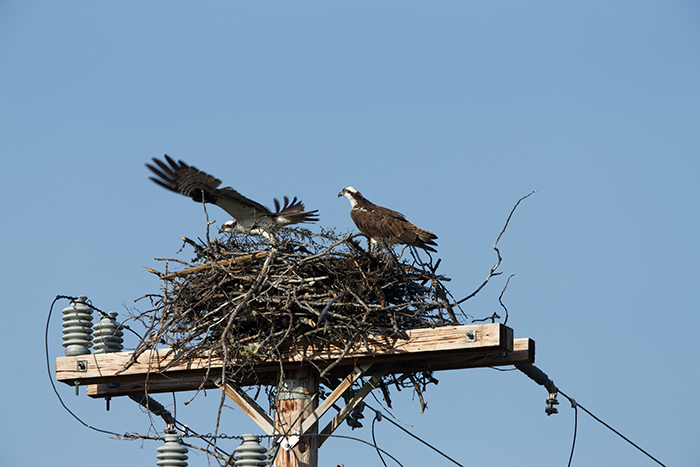 Osprey Nest, Goldstream Road, Fairbanks