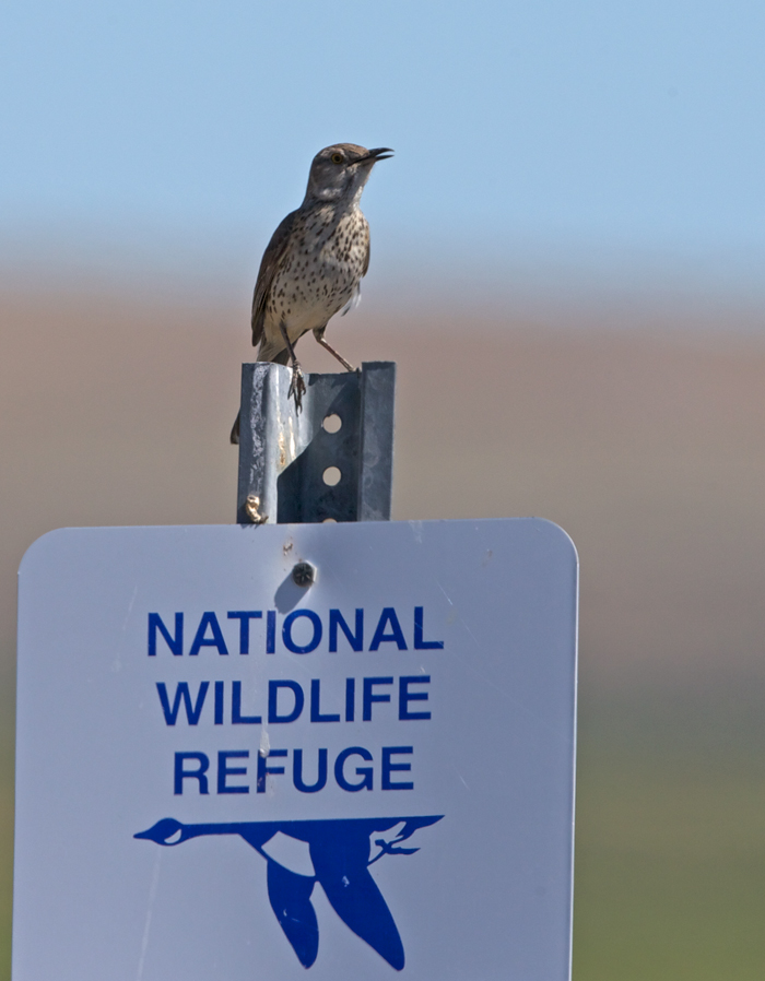 Sage Thrasher Showing Off, Malheur National Wildlife Refuge
