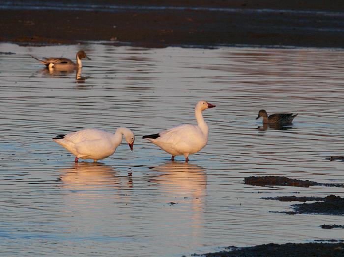 Snow Geese, Creamer's Field, Fairbanks