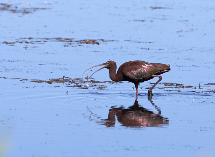 White-faced Ibis Tossing Down Lunch, Malheur NWR