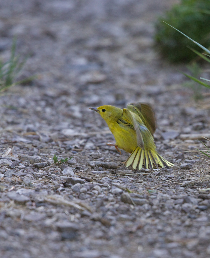 Yellow Warbler Female, Leading WC Away from the Nest, Malheur NWR