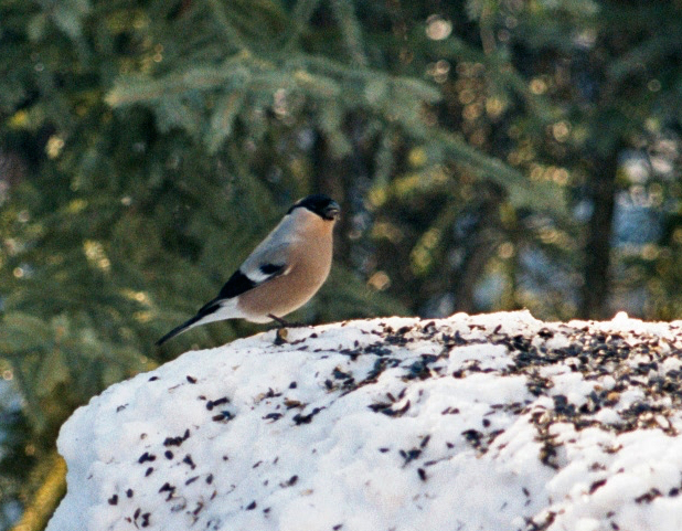 Eurasian Bullfinch Female, Fairbanks, 1996