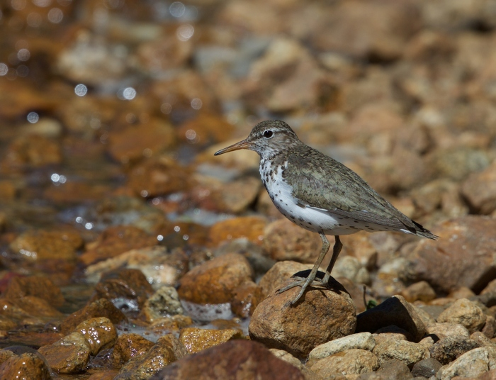 Spotted Sandpiper, Stanley Lake, Sawtooth NRA