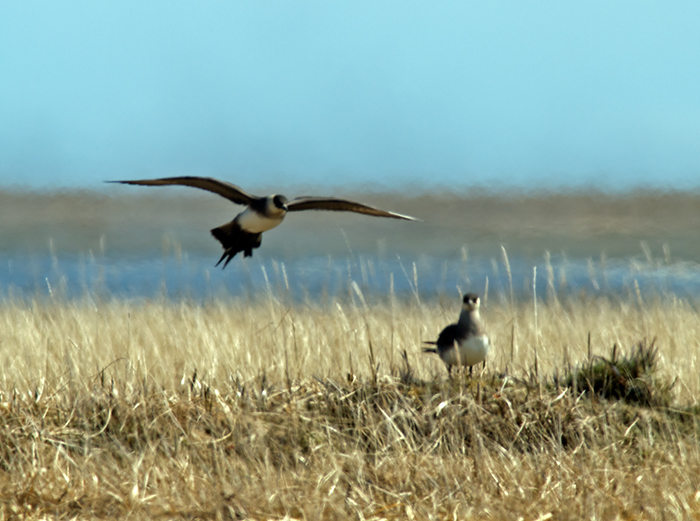 Parasitic Jaeger, Yukon Delta National Wildlife Refuge
