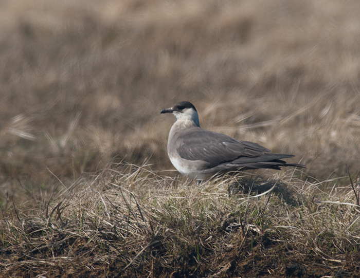 Parasitic Jaeger on a Nest, Yukon Delta National Wildlife Refuge