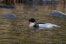 Red-breasted Merganser Male, Upper Kuparuk River, North Slope