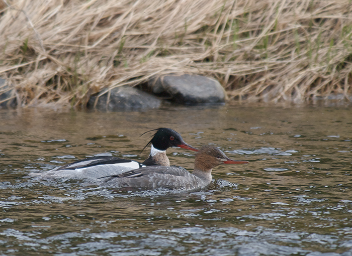 Male and Female Red-breasted Merganser, Upper Chatanika River