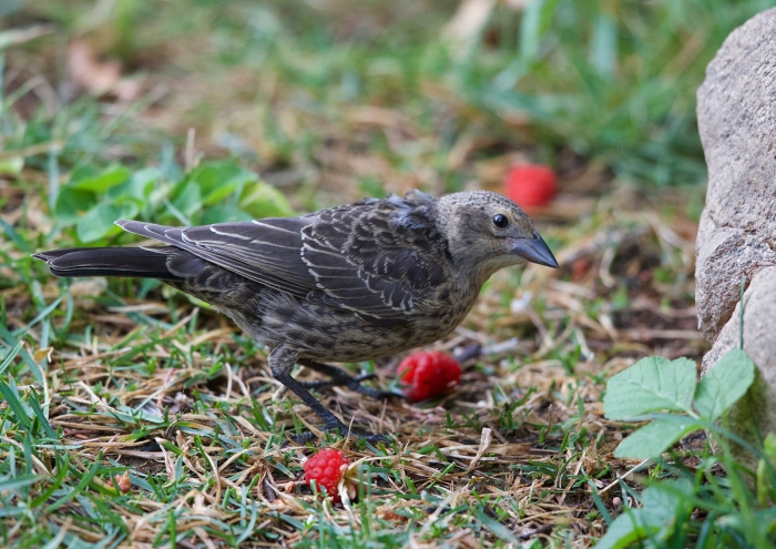 Brown-headed Cowbird Juvenile