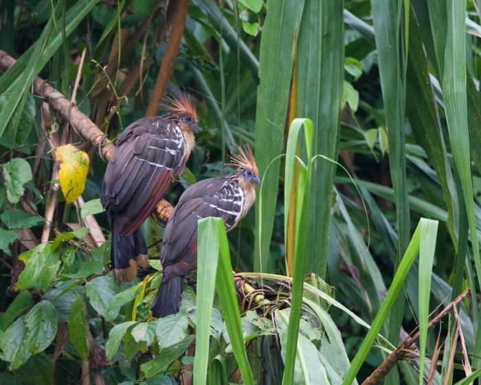 Hoatzin, Oxbow Laguna, Rio Madre de Dios, Amazonian Peru
