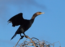 Double-crested Cormorant, Old Chevak, Alaska