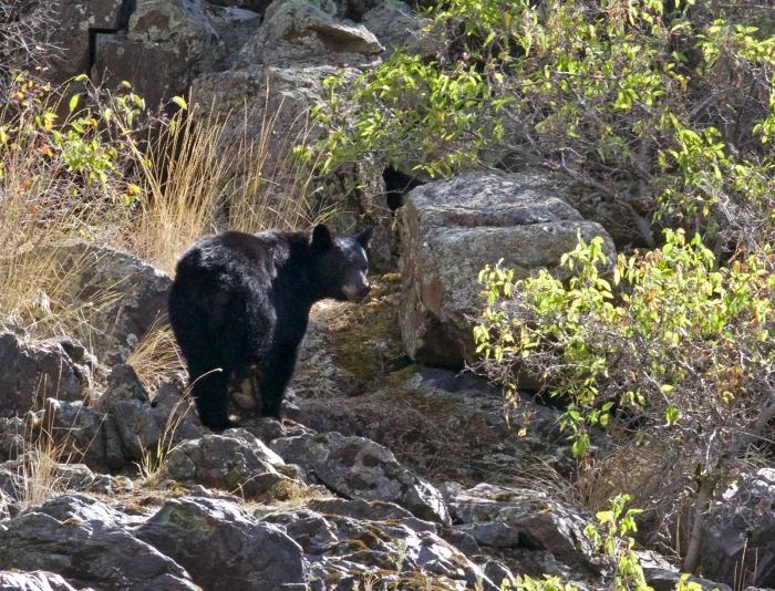 Black Bear, Hells Canyon (Oregon side)