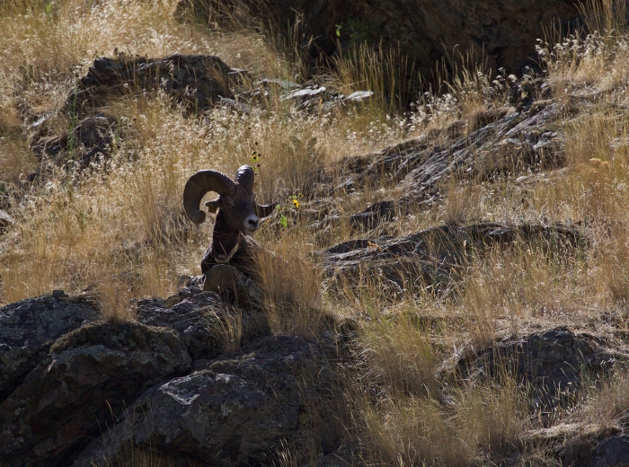 Rocky Mountain Sheep Ram (with tracking collar), Hells Canyon
