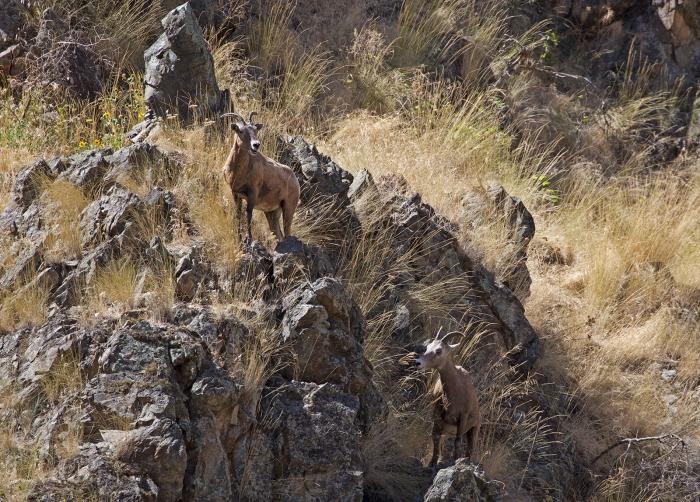Rocky Mountain Sheep, Hells Canyon