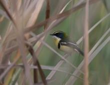 Many-colored Marsh-Tyrant, Bentanalla Preserve, Lima