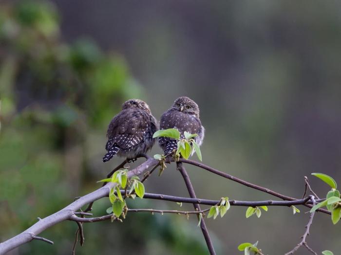 Peruvian Screech Owl, Rio SantaEulalia Valley